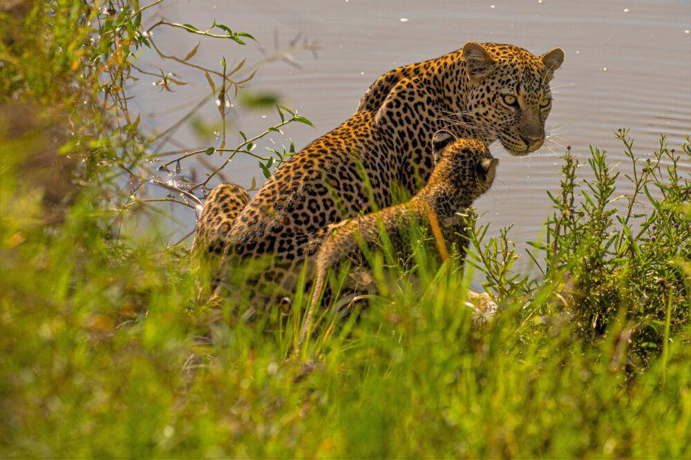 Leopardenmutter mit ihrem Jungen am Wasserloch