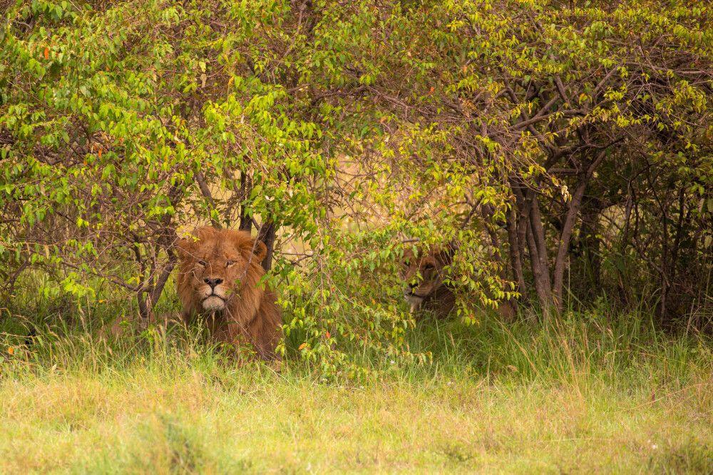 Löwen im Versteck