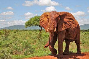 Eindrucksvoller Elefantenbulle