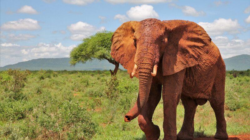 Eindrucksvoller Elefantenbulle © Diamir