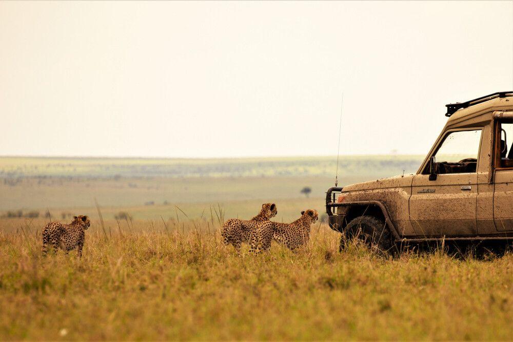 Geparden direkt am Safariauto