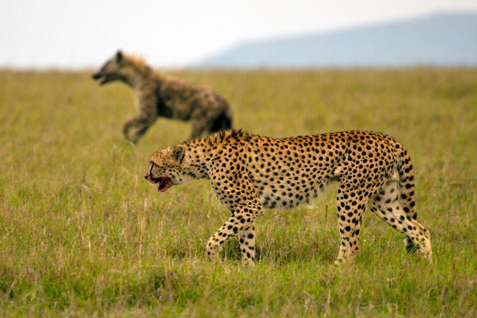 Gepard und Hyäne Seite an Seite