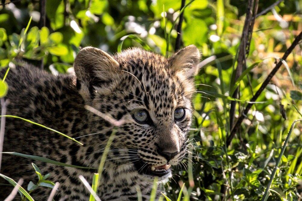 Leopardenjunges im Gras