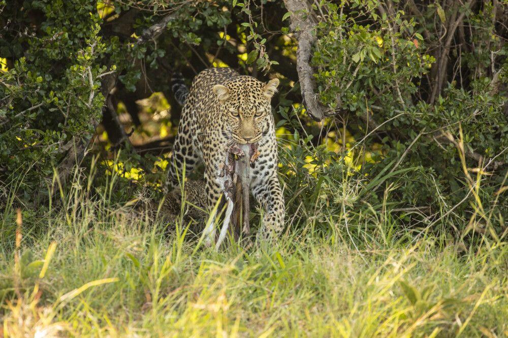 Leopardenmutter mit Beute und ihrem Jungen versteckt im Gras
