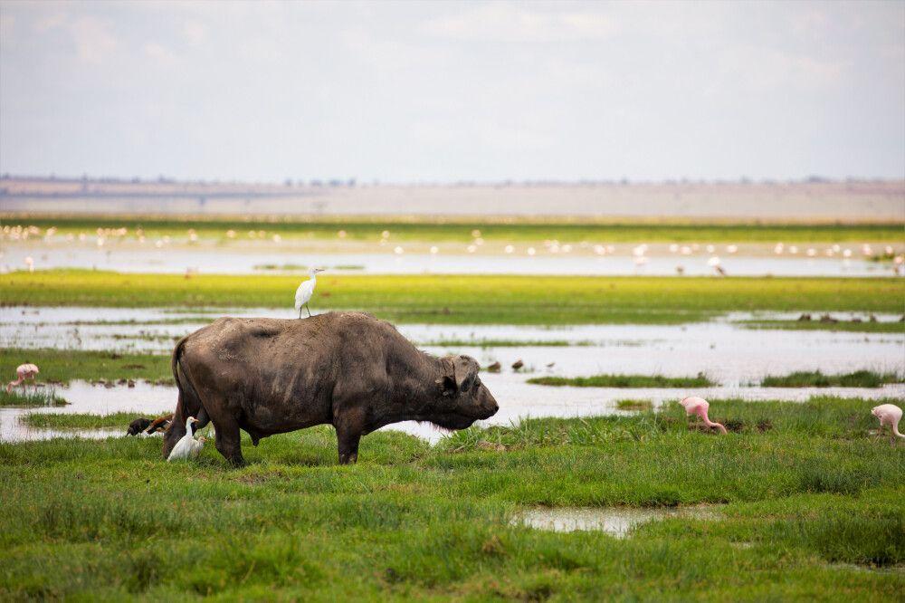 Büffel in den Sümpfen des Amboseli