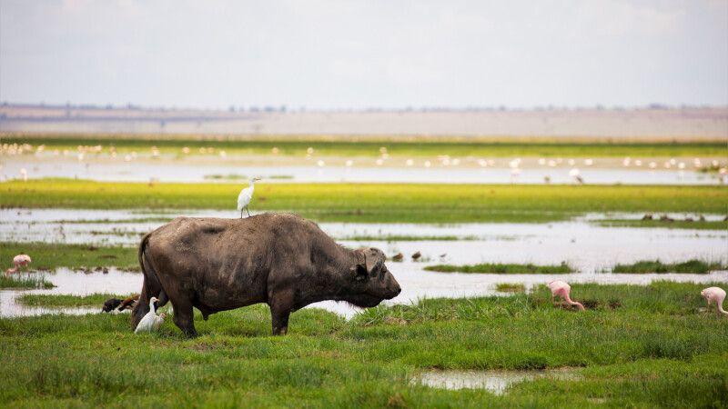 Büffel in den Sümpfen des Amboseli © Diamir