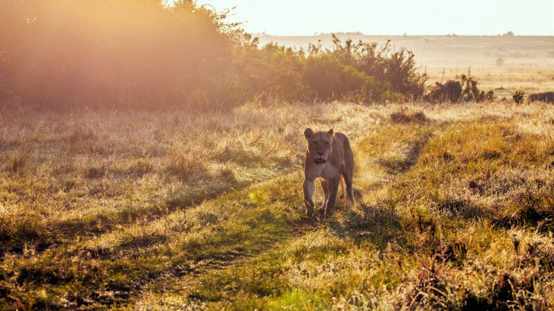 Löwin auf Streifzug © Diamir