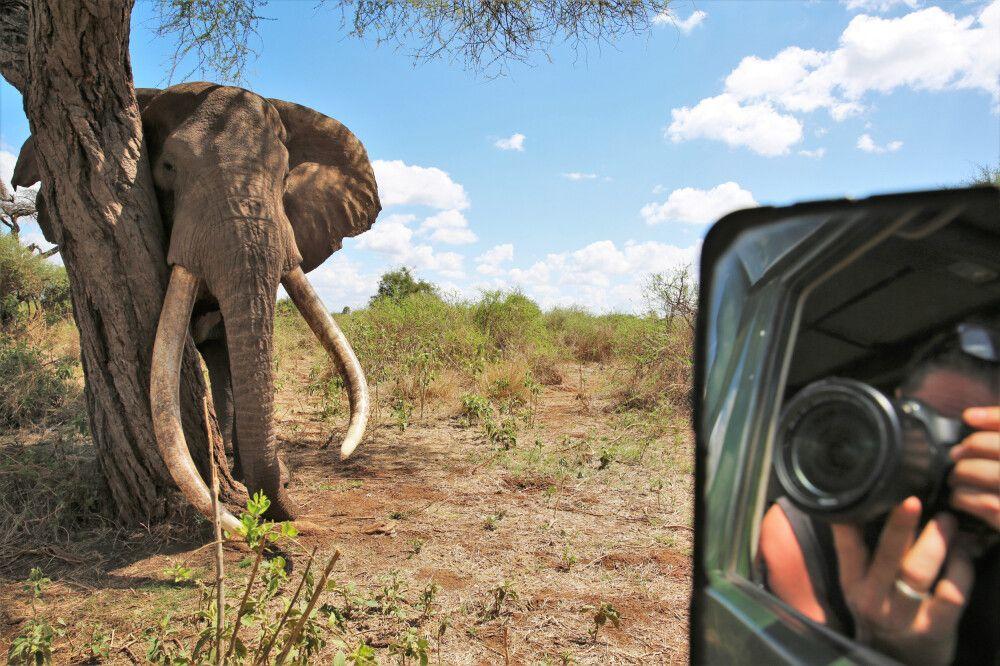 Ein mächtiger Elefantenbulle direkt vor der Linse
