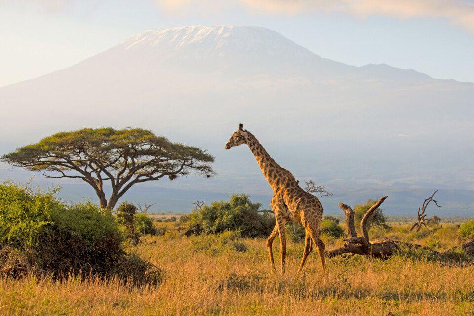 Giraffe vor der Kulisse des Kilimanjaro