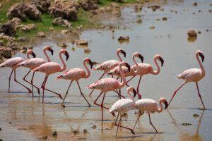 Rosa Flamingos im Gleichklang