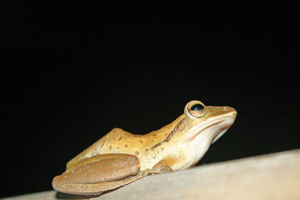 Frosch im Gunung-Leuser-Nationalpark