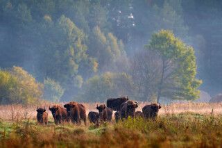 Bison-Herde im Bialowieza Nationalpark