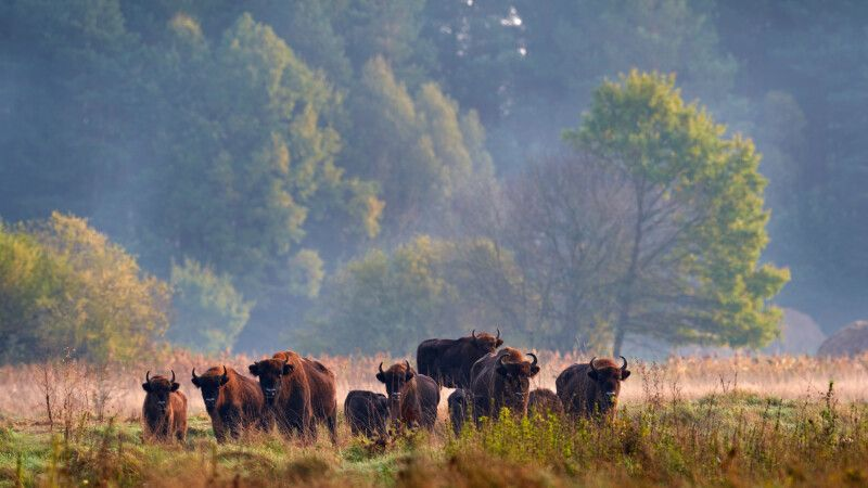 Bison-Herde im Bialowieza Nationalpark © Diamir