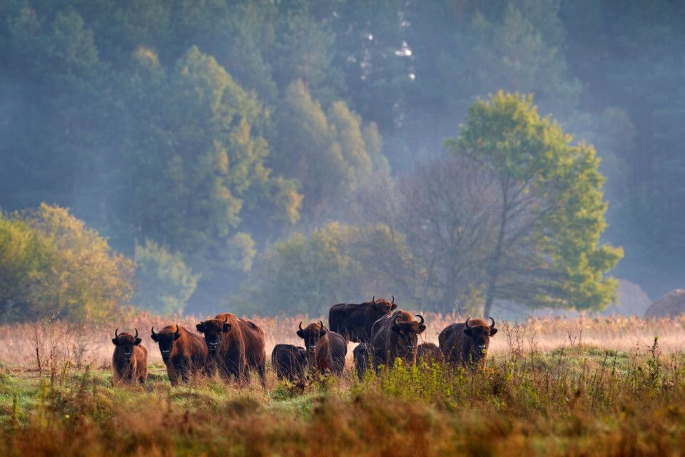 Bison-Herde im Bialowieza Nationalpark