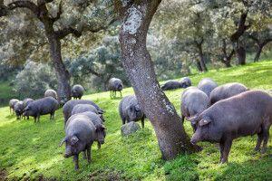Iberische Schweine (Pata Negra) grasen in einem Korkeichenwald