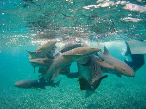 Das Spiel wilder Haie in Belize aus sicherer Entfernung