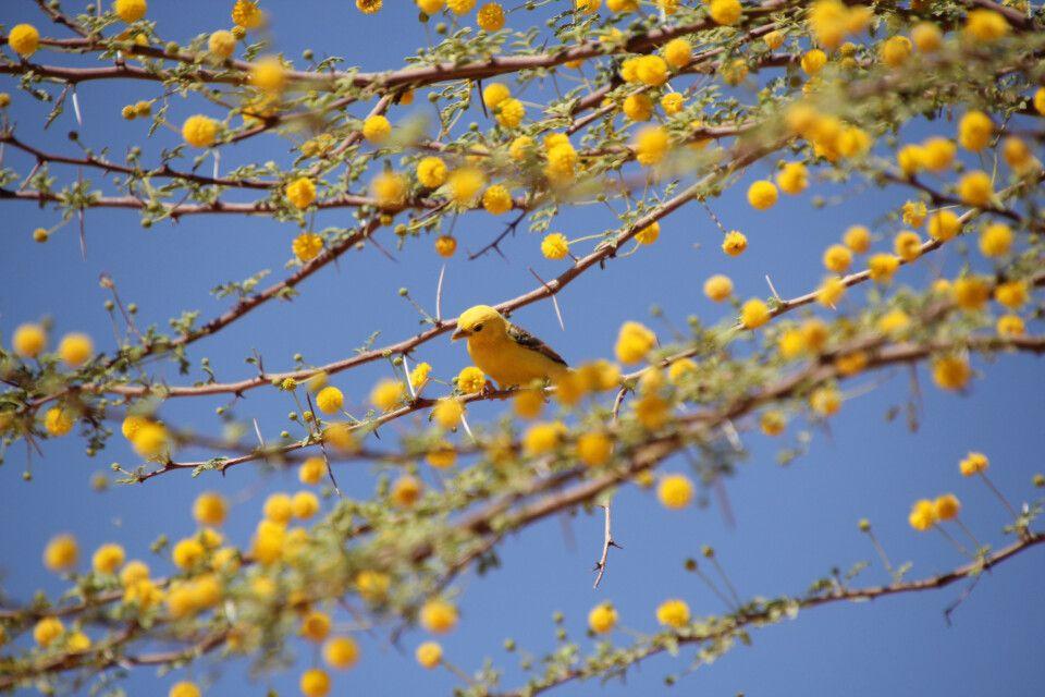 Akazienblüte und Vogel Ton in Ton