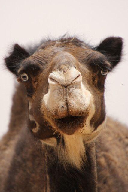 Neugieriges Kamel besucht uns beim Mittagessen
