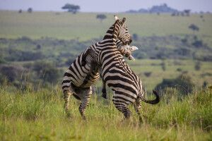 Zebras kämpfen