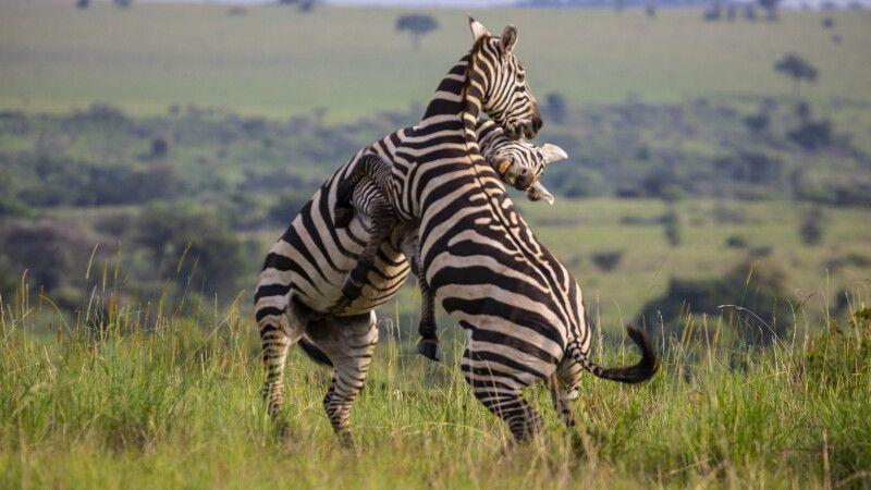 Zebras im Kidepo-Nationalpark © Diamir