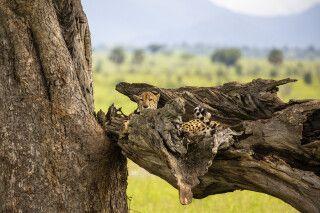 Gepard im Kidepo-Nationalpark