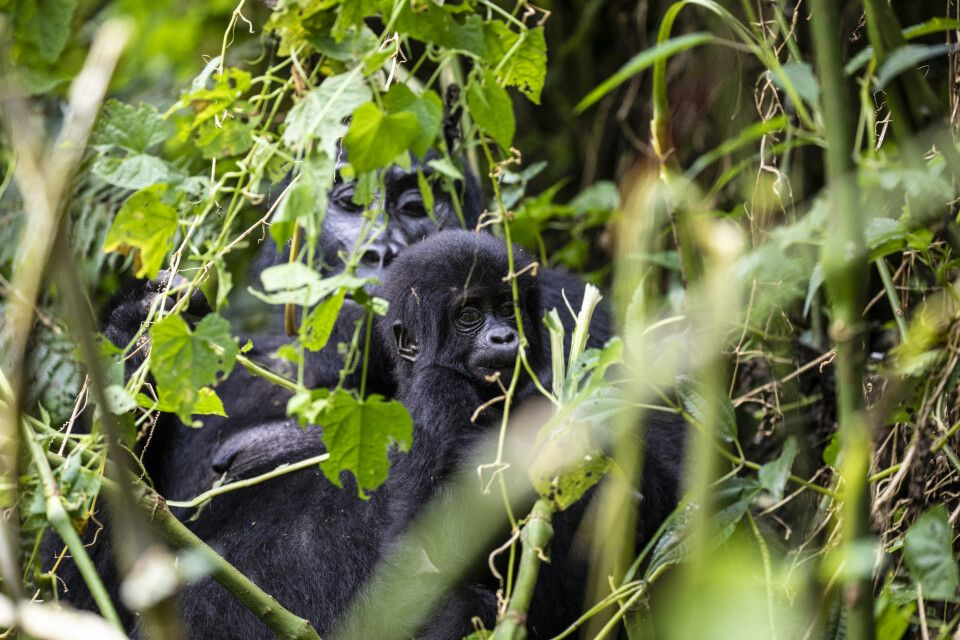 Berggorillas aus nächster Nähe