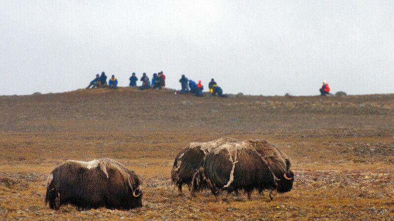 Moschusochen in Westgrönland © Diamir