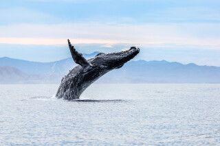 Atemberaubende Walbegegnung auf einer Beobachtungstour