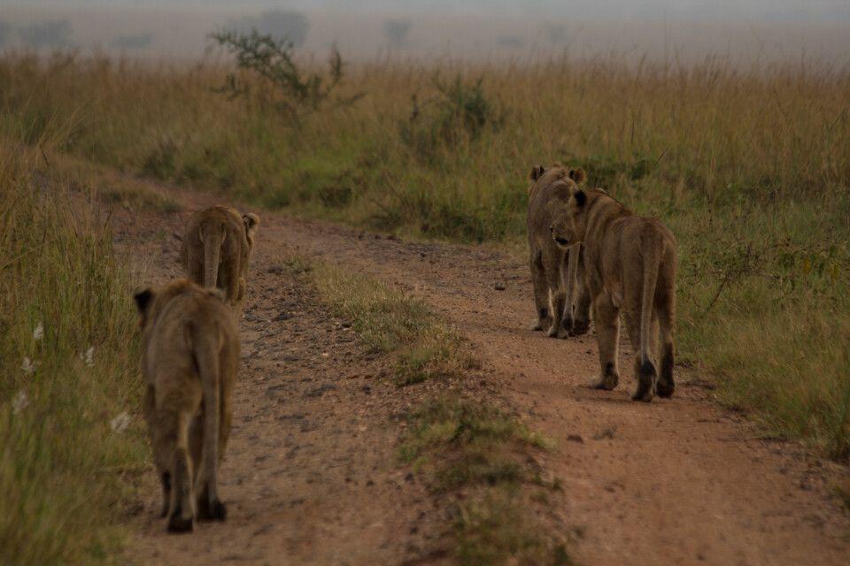 Löwinnen auf Pirsch in der Dämmerung im Kidepo-Nationalpark
