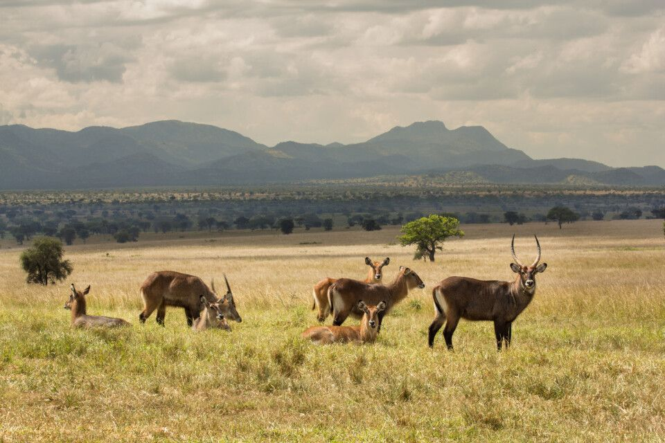 Wasserböcke im Kidepo-Nationalpark