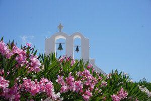 Oleanderblüte auf Santorini