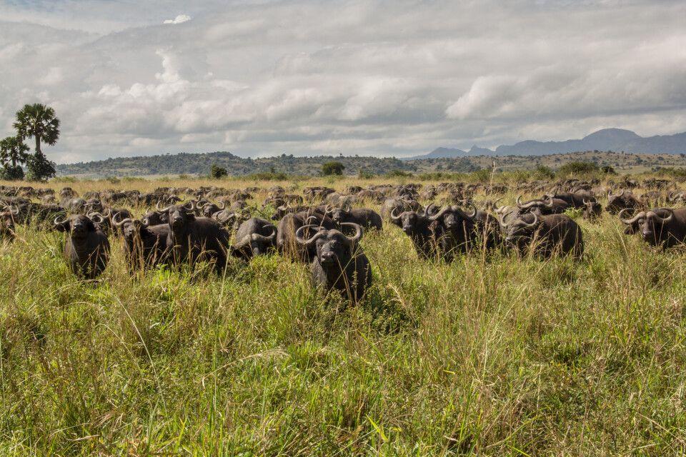 Büffelherde im Kidepo-Nationalpark