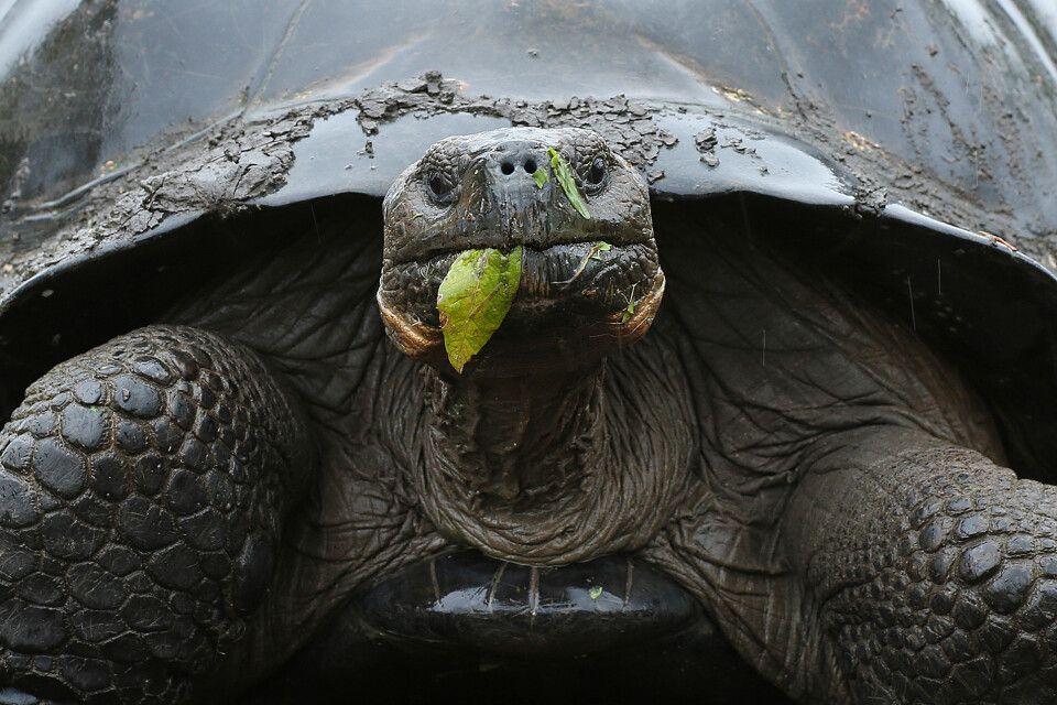 Riesenschildkröte im Detail