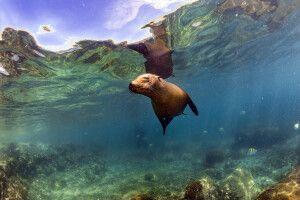 Seelöwe unter Wasser auf Galapagos