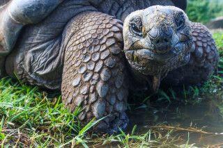 Galapagos-Riesenschildkröte lächelt in die Kamera