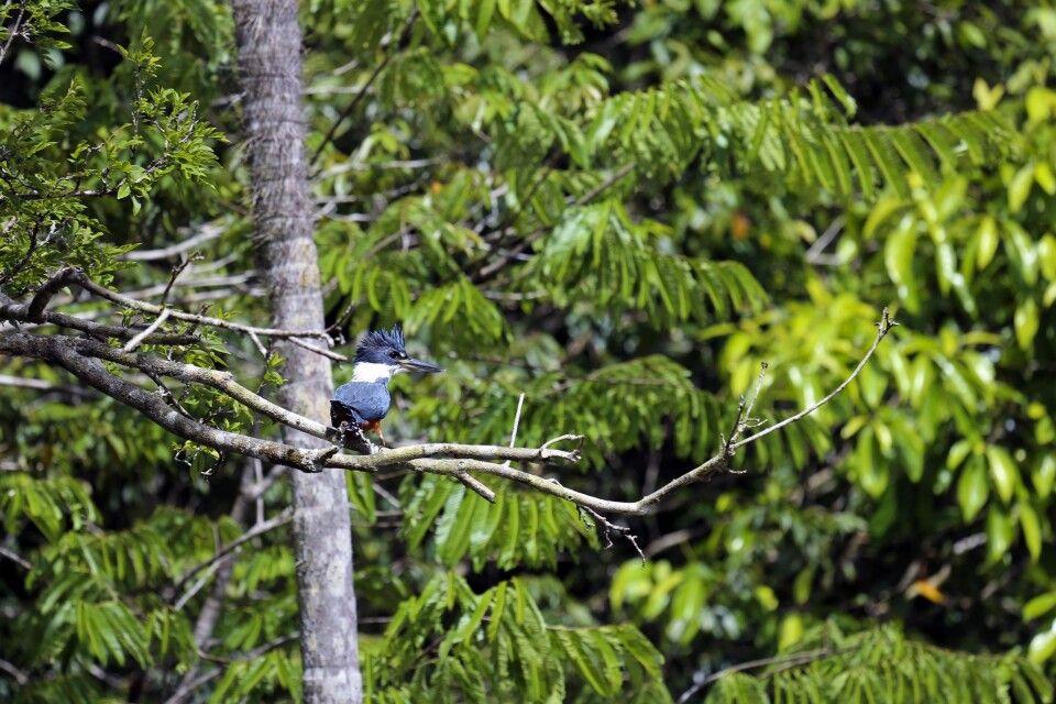 Bunte Vogelwelt Guyanas