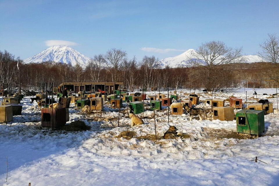 Schlittenhunde oder Huskys vor dem Awatschinski Vulkan auf Kamtschatka im Winter