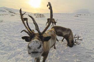 Rentiere in Kamtschatka bei Esso im Winter