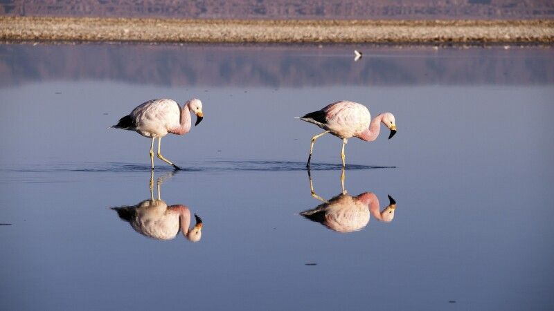 Watende Flamingos © Diamir