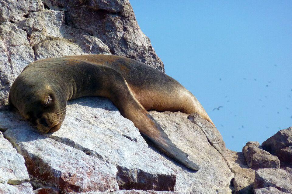 Seelöwe auf den Islas Ballestas