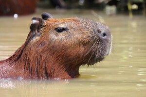 Possierliches Wasserschwein