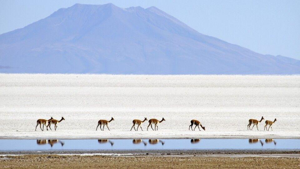 Vicuñas am Salar de Uyuni
