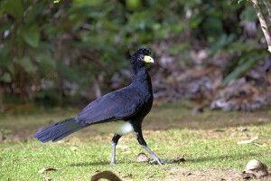 Vielfältiges Vogelwelt Guyanas