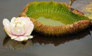 Seerose mit Blüte