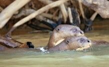 Schwimmende Riesenotter