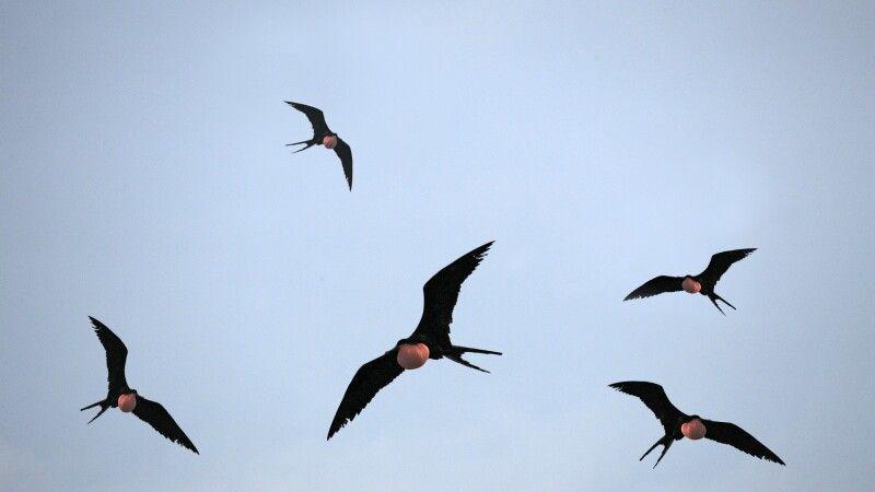 Fliegende Fregattvögel © Diamir