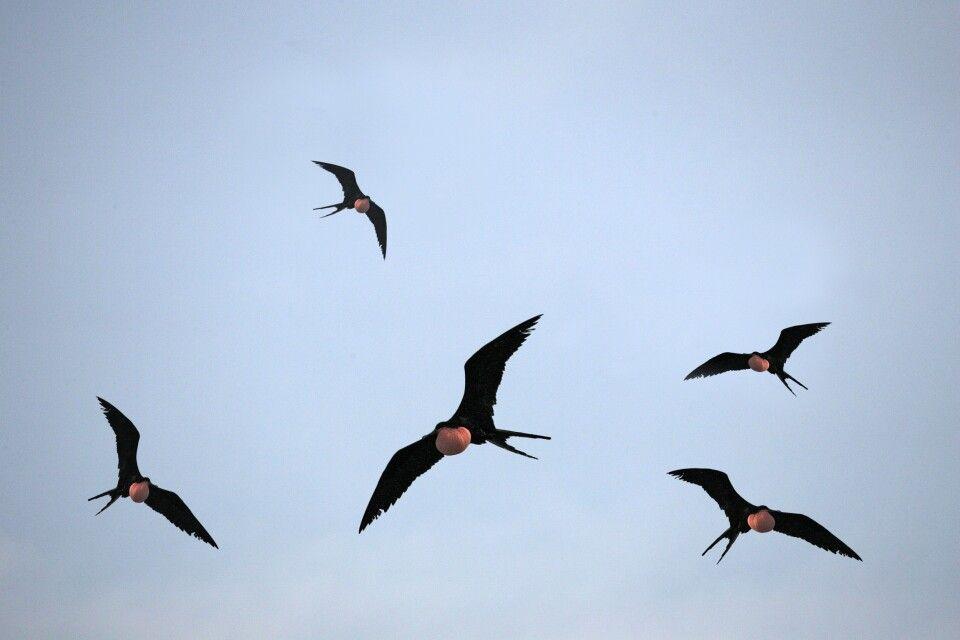 Fliegende Fregattvögel