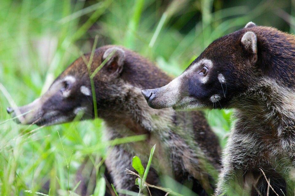 Nasenbärenpaar