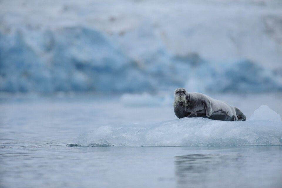 Bartrobbe ruht auf einer Eisscholle