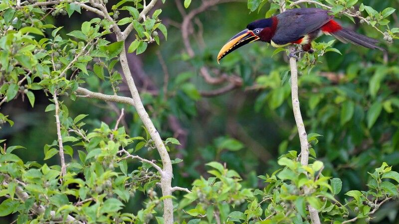 Braunohrarassari; Tukanart im Pantanal © Diamir